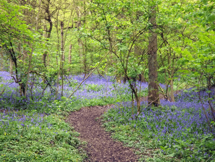 Bluebells and path in Middleton Woods